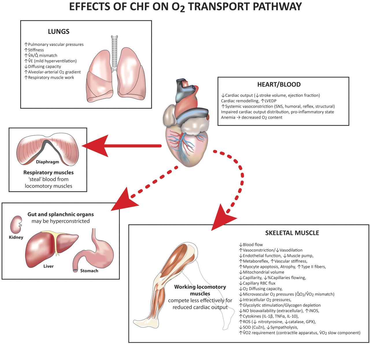 impacts of heart failure on the body Congestive heart failure's affect on body aug 20, 2013  answer • congestive heart failure isn't a single disease: it's a syndrome that can be caused by many conditions  that affects .